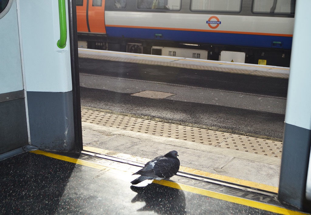 Pigeon deciding whether to take the District Line or North London Line from Richmond station